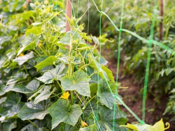 Рекомендации по выращиванию огурцов на шпалере в открытом грунте