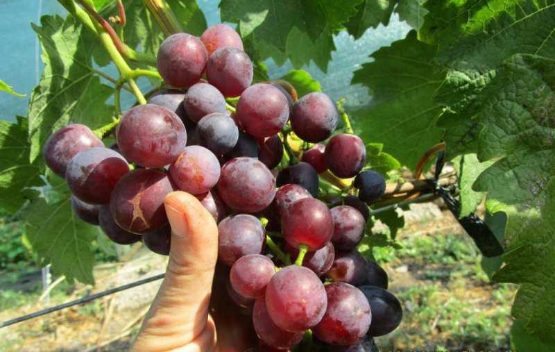 Виноград блестящий: описание сорта и характеристики, правила посадки и ухода