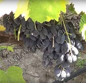 Виноград блек фингер: описание сорта кишмиша черный палец, его характеристики, особенности выращивания и фото selo.guru — интернет портал о сельском хозяйстве