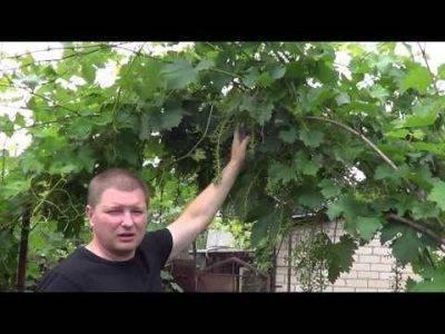 Девичий виноград: посадка и уход, размножение