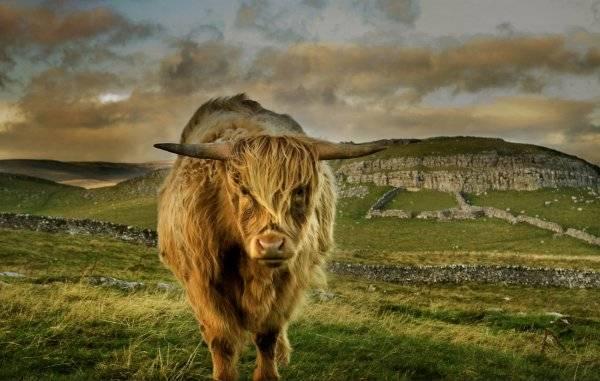 Породы коров – описание экстерьера и характеристика продуктивности.