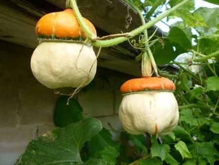 Тыква декоративная и особенности ее выращивания в умеренной полосе
