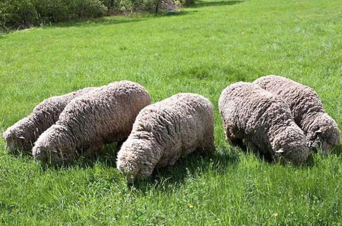 Овцы мериносы — обзор шерстных пород