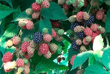 Описание сорта и правила выращивания ежевики агавам