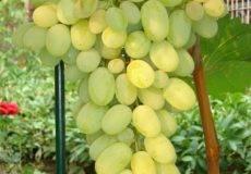 Сорт винограда дружба: описание, фото и отзывы