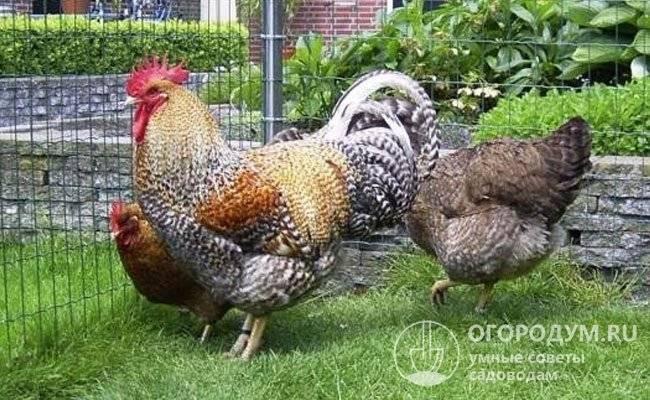 Порода кур билефельдер: описание, фото и видео