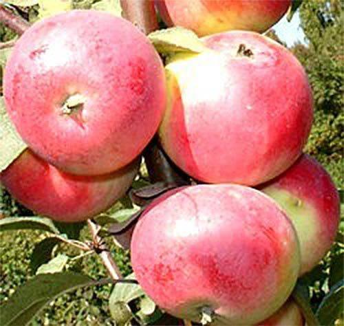 Яблоня заветное: характеристика и описание, уход за деревом
