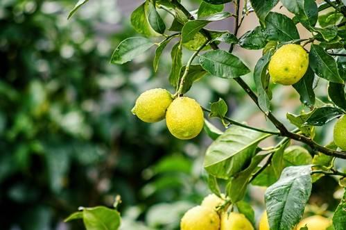 Обрезка лимонов в домашних условиях — инструкция с фото и видео