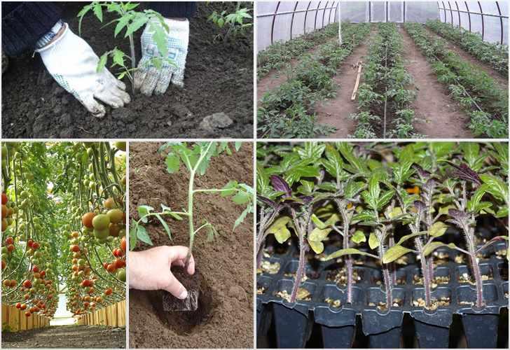 Как посадить помидоры в теплицу из поликарбоната правильно. уход