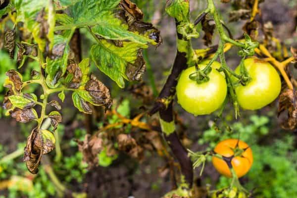 Народные средства от фитофторы на помидорах: чем опрыскать томаты, как бороться с помощью чеснока, зеленки, марганцовки, как разводить ампулы с хлористым кальцием?