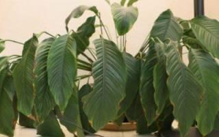 У спатифиллума вянут листья: основные причины того, почему это происходит, что делать, чтобы спасти цветок и как проводить профилактику?дача эксперт