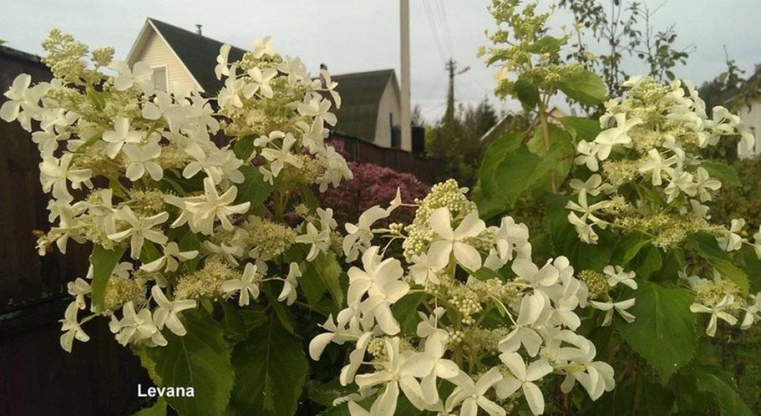 Гортензия метельчатая – посадка и уход, описание известных сортов и разновидностей
