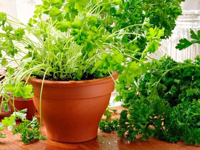 Выращивание петрушки на подоконнике из семян