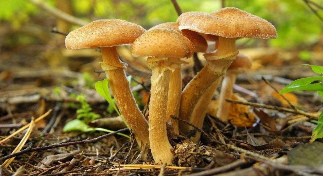 Где и когда растут осенние опята: как быстро вырастают, чем простимулировать рост луговых грибов - сад и дача