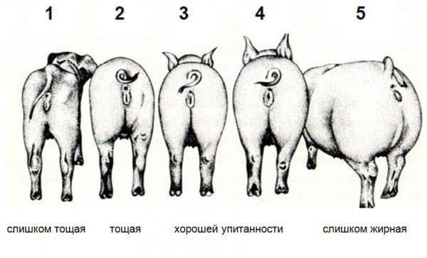 Сколько весит свинья: как знать и определить, таблица по размерам