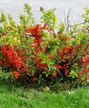 Айва японская: посадка и уход в открытом грунте, выращивание, осенью айва японская: посадка и уход в открытом грунте, выращивание, осенью