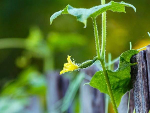 Чем подкормить огурцы во время цветения и плодоношения: особенности внесения удобрений, популярные рецепты