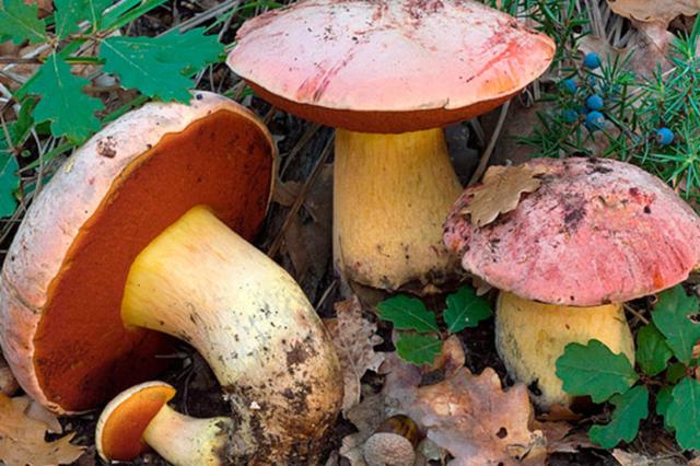 Ложный белый гриб: фото и описание, как отлечить