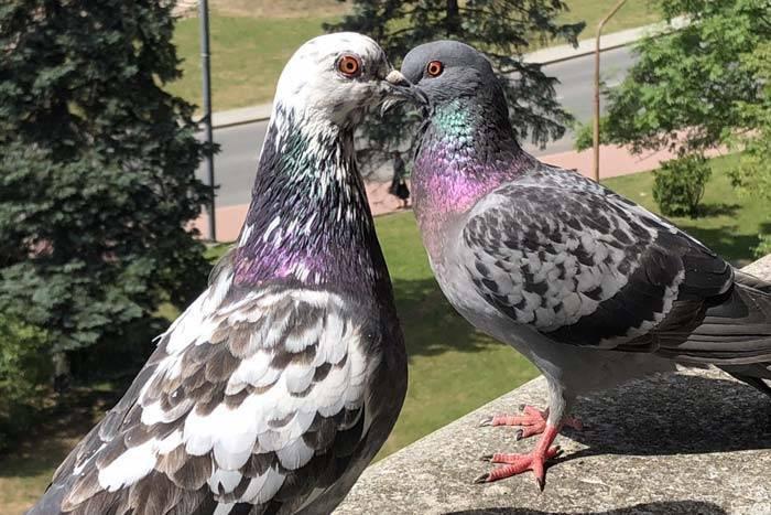 Как отличить голубя от голубки: эффективные методы и фото как отличить голубя от голубки: эффективные методы и фото