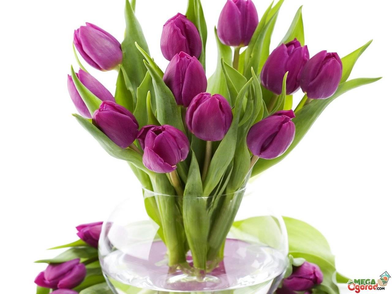 Как сохранить тюльпаны до 8 марта?