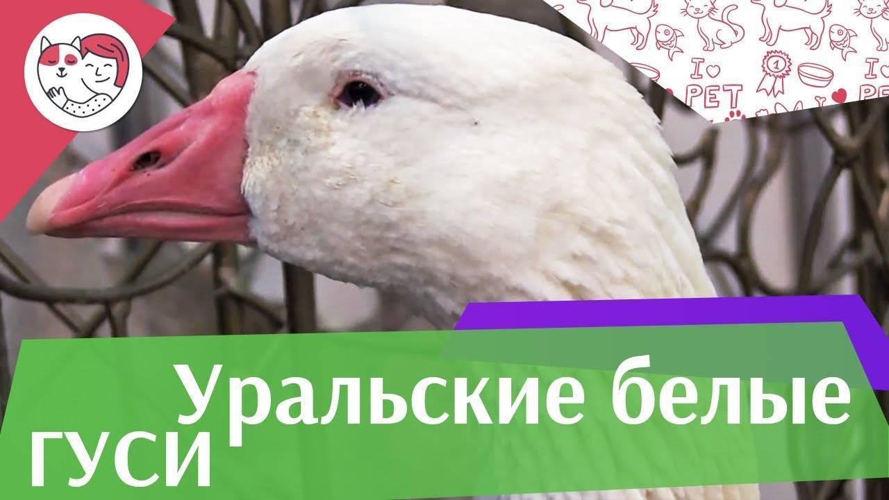 Описание породы гусей Датский Легард