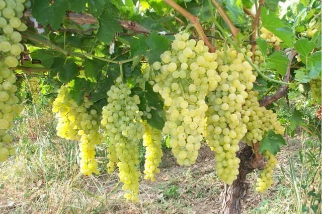 Виноград русбол: описание сорта с характеристикой и отзывами, особенности посадки и выращивания, фото