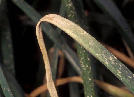 Болезни и вредители репчатого лука: описание, фото, методы борьбы и лечения