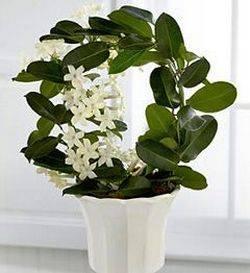 Стефанотис обильноцветущий, особенности выращивания в комнатных условиях