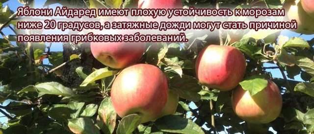 Яблоня айдаред: описание сорта яблок, посадка и уход + фото, отзывы