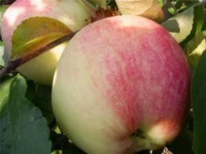 Яблоня бельфлер китайка: описание, фото, отзывы садоводов, урожайность