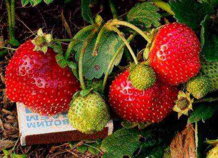Клубника виктория: отзывы, фото садоводов, характеристика и урожайность сорта