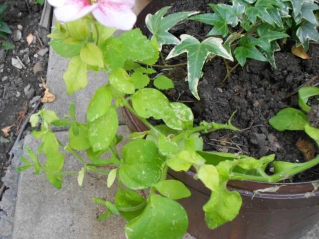 Желтые листья у петунии - первый признак заболевания. причины