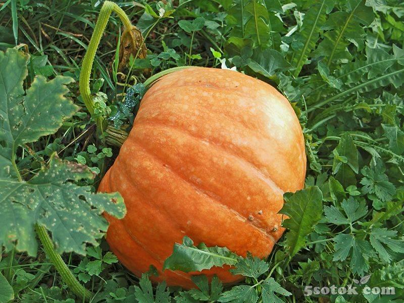 Чем подкармливать тыквы и кабачки, которые растут в открытом грунте: какие удобрения применять?
