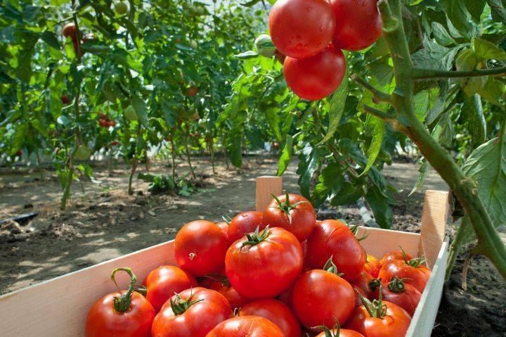 Что класть в лунку при посадке помидор | огородовед