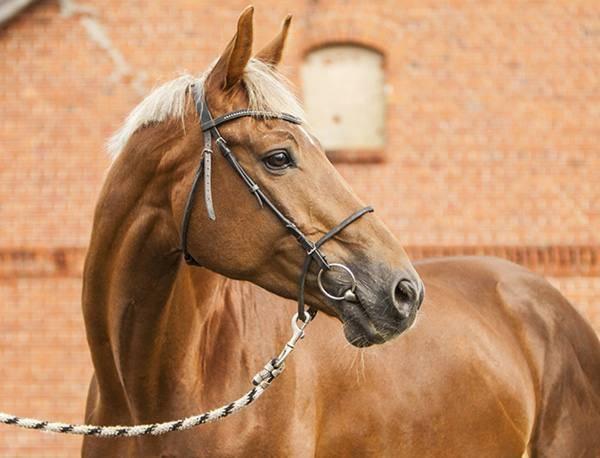 Тракененская лошадь: из забытья на мировую арену