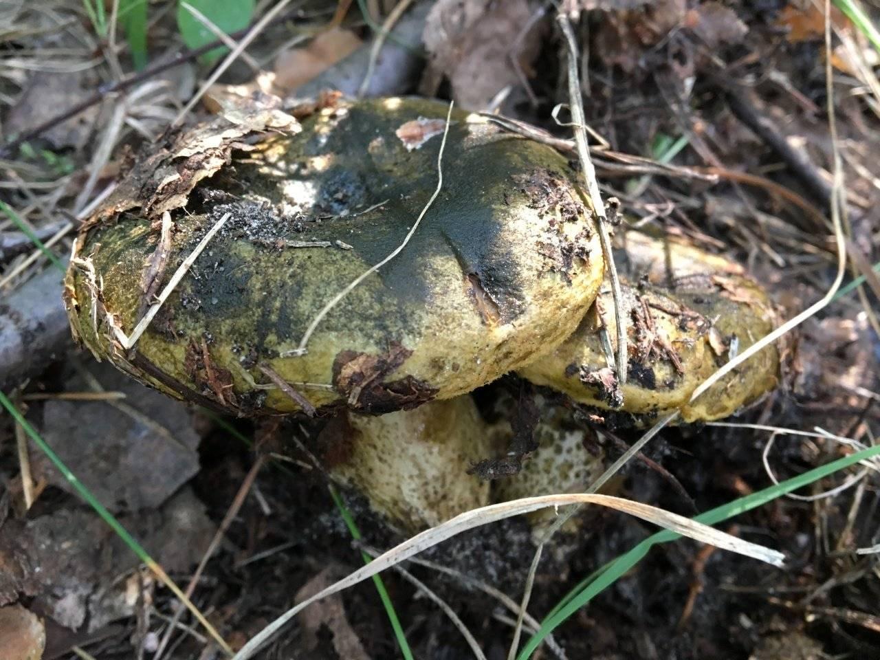 Черные грузди. описание. лесные грибы