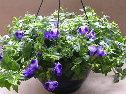 Торения выращивание из семян в домашних условиях
