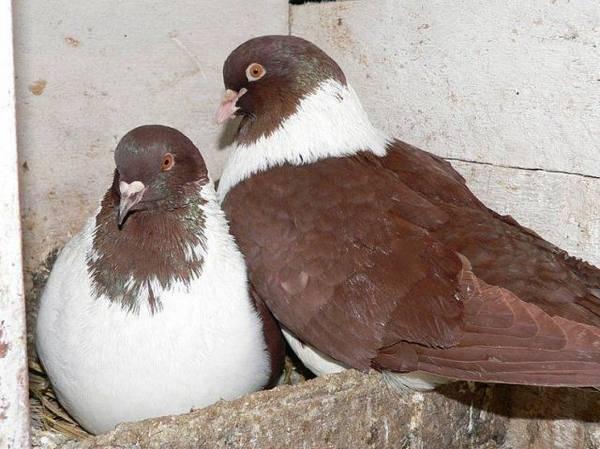 Родотиум для голубей: описание препарата, инструкция - сельская жизнь