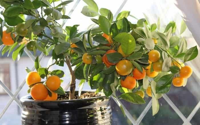 Апельсин: особенности выращивания и ухода