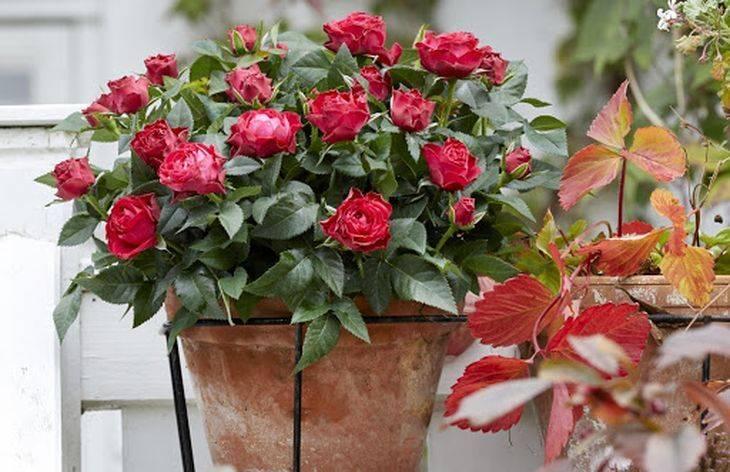 Роза домашняя: уход в домашних условиях. как правильно выращивать комнатные розы в горшках, чтобы они цвели - автор екатерина данилова - журнал женское мнение
