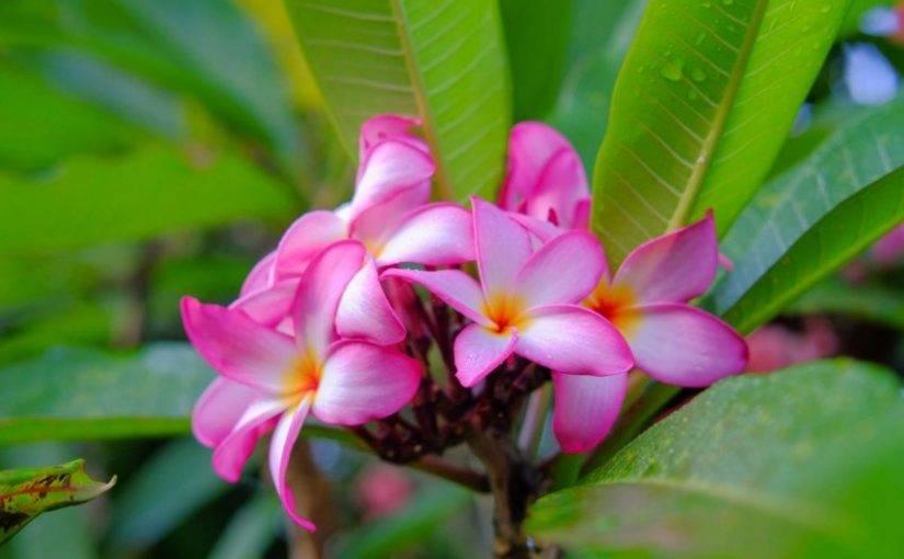 Цветок плюмерия (31 фото): белая, красная, уход в домашних условиях за комнатным растением, выращивание из семян, обрезка