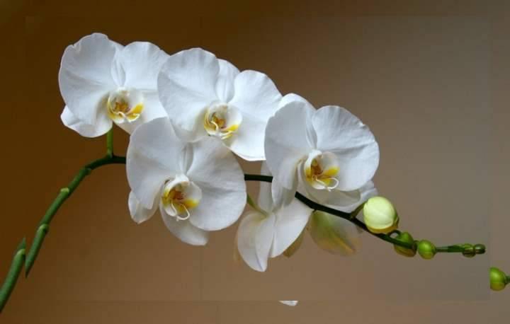 Мини-орхидея фаленопсис - уход в домашних условиях