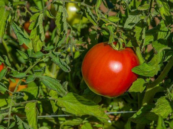 Томат биг биф f1 характеристика сорта и отзывы садоводов