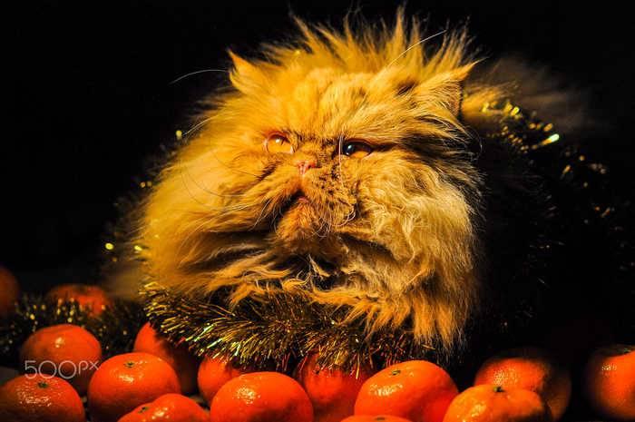 Почему коты не любят цитрусовые: запах апельсинов, мандаринов