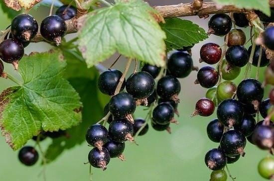 Смородина осенью: уход, обрезка, подкормка красного и черного сортов