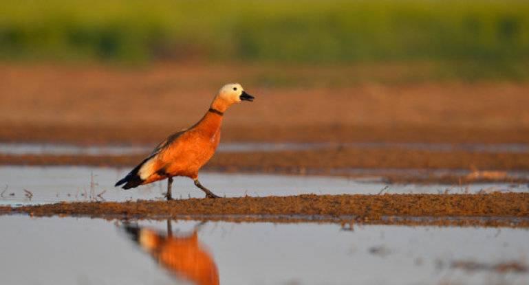 Красная утка огарь