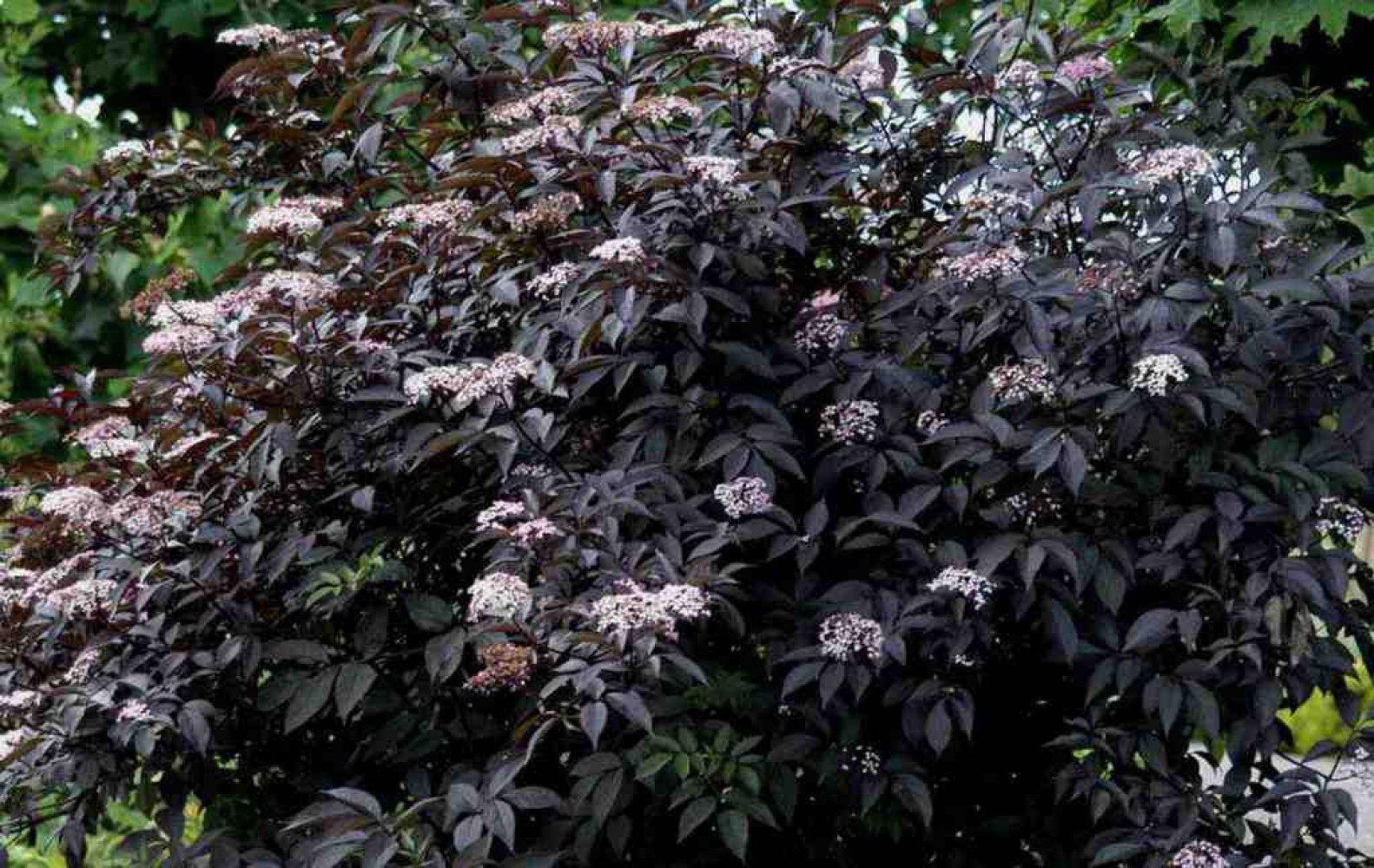 Черная бузина: посадка и уход в открытом грунте, способы размножения, лучшие сорта