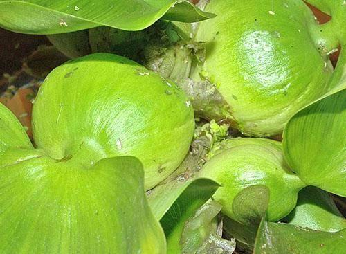 Водяной гиацинт эйхорния: содержание растения в домашних условиях