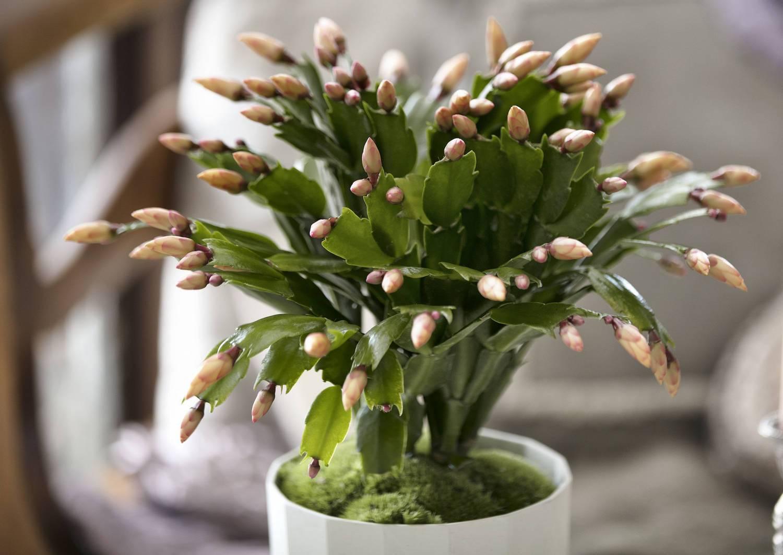 Шикарный белый декабрист: фото лучших сортов. можно ли добиться такого оттенка цветов самостоятельно?