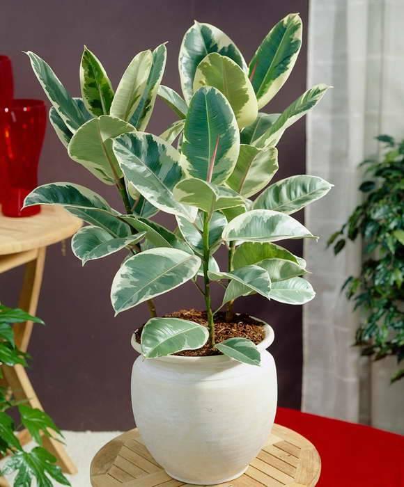 Фикус каучуконосный. обрезка и формирование растения